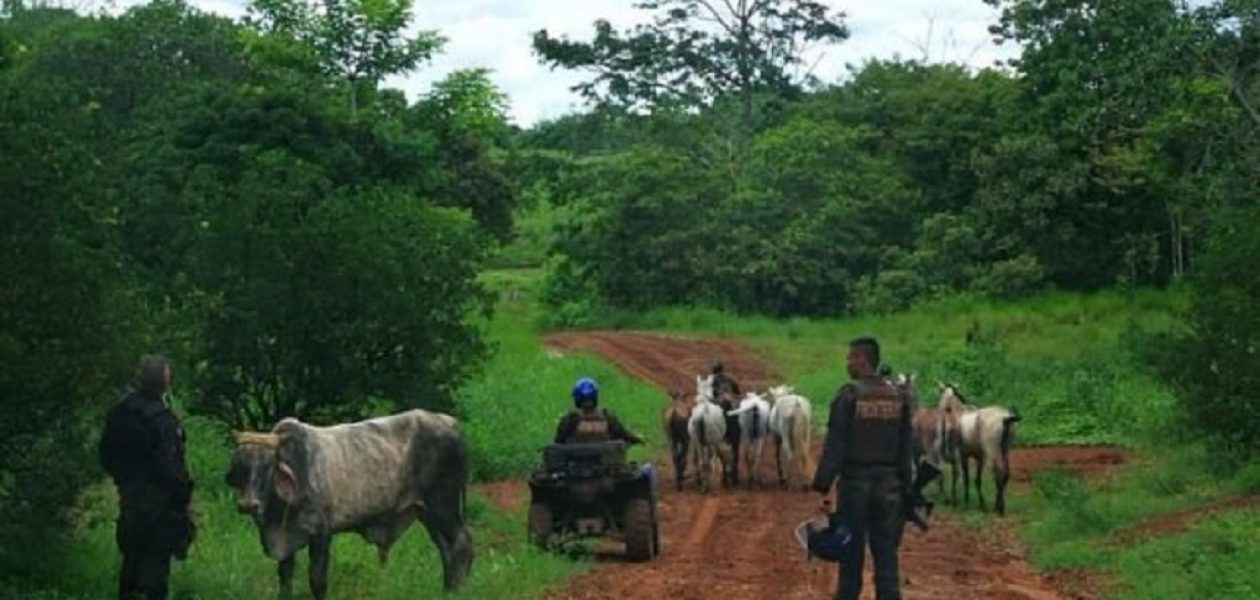 Decomisaron 45 toros a los ganaderos para distribuir carne en el CLAP