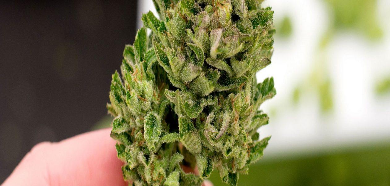 Cannabis medicinal es aprobado por la OMS