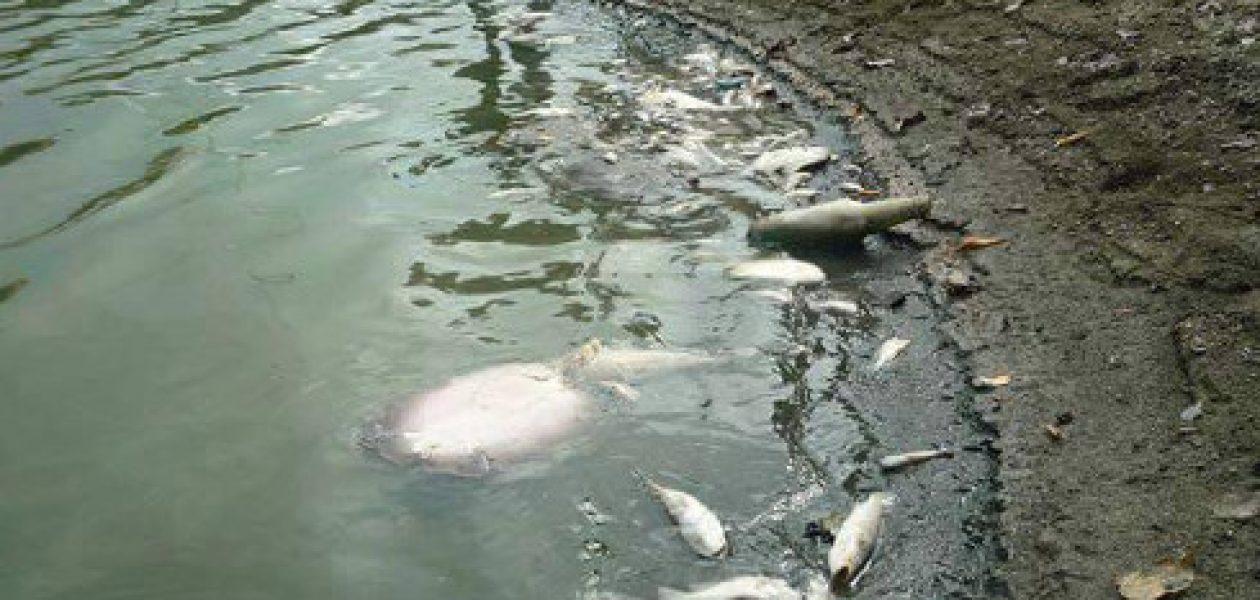 Contaminación del agua acabó con peces en embalse de Camatagua
