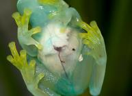 La rana de cristal a la que se le ve el corazón